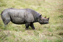 Black rhinoceros diceros bicornis michaeli in captivity Royalty Free Stock Photo