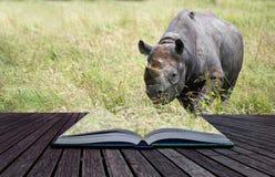 Black rhinoceros diceros bicornis michaeli in captivity conceptu Stock Photo