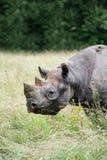 Black rhinoceros diceros bicornis michaeli in captivity Stock Image