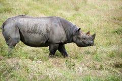 Black rhinoceros diceros bicornis michaeli in captivity Royalty Free Stock Photo