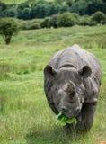 Black rhinoceros diceros bicornis michaeli in captivity Stock Images