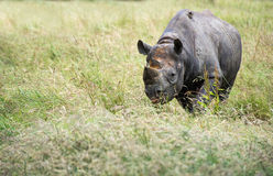 Black rhinoceros diceros bicornis michaeli in captivity Royalty Free Stock Photos