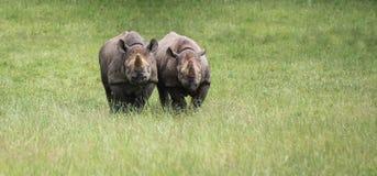 Black rhinoceros diceros bicornis michaeli in captivity Stock Photo