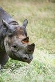 Black rhinoceros diceros bicornis michaeli in captivity Royalty Free Stock Image