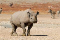 Black rhinoceros in natural habitat Royalty Free Stock Images
