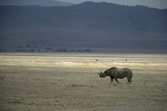 Black rhinoceros, Diceros bicornis Royalty Free Stock Photo