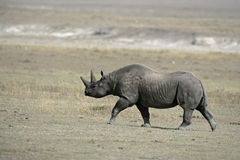 Black rhinoceros, Diceros bicornis Royalty Free Stock Photography