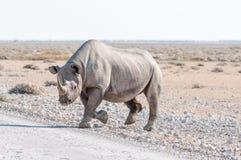 Black rhinoceros, Diceros bicornis, walking accross a road Stock Image