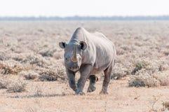 Black rhinoceros, Diceros bicornis, walking towards the camera Royalty Free Stock Photo