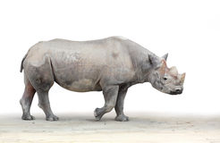 The Black Rhinoceros (Diceros bicornis). Royalty Free Stock Image