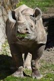 Black rhinoceros (Diceros bicornis). Royalty Free Stock Image