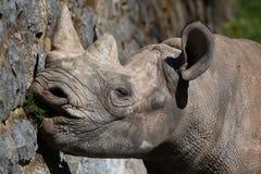 Black rhinoceros (Diceros bicornis). Royalty Free Stock Photos