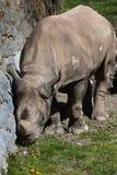 Black rhinoceros (Diceros bicornis). Royalty Free Stock Photography