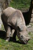 Black rhinoceros (Diceros bicornis). Royalty Free Stock Photo
