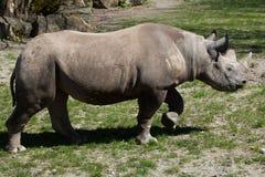 Black rhinoceros (Diceros bicornis). Stock Photography