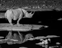 Black Rhinoceros drinking water. At National Park. His silhouette is visible in the water royalty free stock images