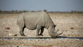 Black rhinoceros drinking water stock video