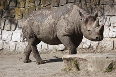 Black rhinoceros in Dvur Kralove zoo Stock Photo