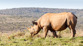 Black Rhinoceros eating grass Stock Photography