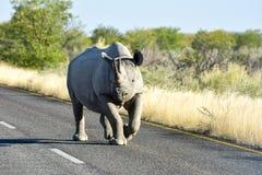 Black Rhinoceros - Etosha National Park, Namibia Royalty Free Stock Photography
