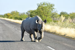 Black Rhinoceros - Etosha National Park, Namibia Royalty Free Stock Images