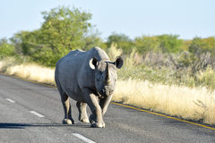Black Rhinoceros - Etosha National Park, Namibia Stock Image