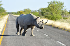 Black Rhinoceros - Etosha National Park, Namibia Royalty Free Stock Photo