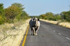Black Rhinoceros - Etosha National Park, Namibia Stock Photo