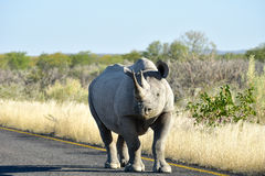 Black Rhinoceros - Etosha National Park, Namibia Stock Photos