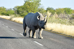 Black Rhinoceros - Etosha National Park, Namibia Stock Images
