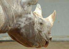 Black rhinoceros Stock Photography