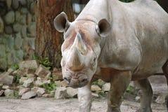 The black rhinoceros Royalty Free Stock Photo