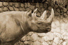 The black rhinoceros Stock Photo