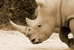 The black rhinoceros Stock Photos
