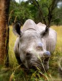 Black Rhinoceros. (hook-lipped rhinoceros) grazing at a wildlife sanctuary in Tanzania, Africa Stock Image