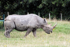 Black Rhinoceros or Hook-lipped Rhinoceros Stock Image