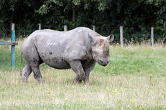 Black Rhinoceros or Hook-lipped Rhinoceros Stock Photography