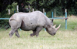 Black Rhinoceros or Hook-lipped Rhinoceros Royalty Free Stock Photo