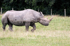 Black Rhinoceros or Hook-lipped Rhinoceros Stock Photo