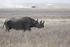 Black rhinoceros or hook-lipped rhinoceros that walks along a dr. Ied savannah in the Ngorongoro crater Stock Photo