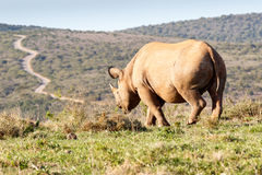 Black Rhinoceros horn showing the path Royalty Free Stock Photos