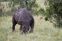Black Rhinoceros in the Masai Mara Game Reserve Royalty Free Stock Image