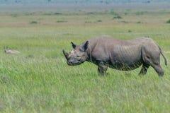 Black Rhinoceros, Masai Mara, Kenya. A Black Rhino walking across the grassy savanna of Masai Mara, Kenya in sunshine Stock Image