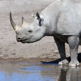 Black Rhinoceros - Namibia Royalty Free Stock Images