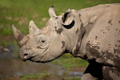 Black Rhinoceros - Namibia Royalty Free Stock Image