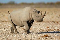Black rhinoceros in natural habitat Royalty Free Stock Image