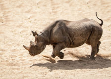 Black rhinoceros Stock Images