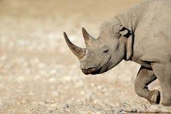Black rhinoceros portrait Royalty Free Stock Photo