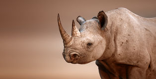Black Rhinoceros portrait stock image