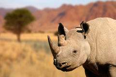 Black rhinoceros Royalty Free Stock Photos